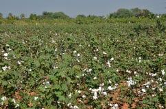 Il raccolto del cotone Immagini Stock