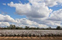 Il raccolto del cotone Immagini Stock Libere da Diritti