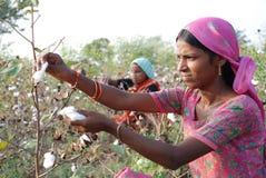 Il raccolto del cotone Immagine Stock Libera da Diritti