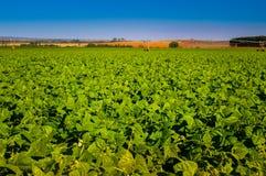 Il raccolto del fagiolo Immagini Stock