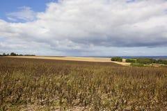 Il raccolto del fagiolo dei wolds di Yorkshire Fotografia Stock