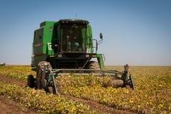Il raccolto del fagiolo del raccolto Fotografie Stock Libere da Diritti