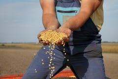 Il raccolto del fagiolo della soia della tenuta dell'agricoltore Immagini Stock
