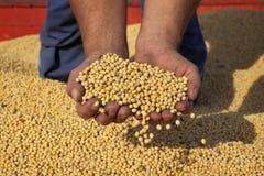 Il raccolto del fagiolo della soia della tenuta dell'agricoltore Fotografia Stock Libera da Diritti