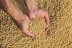 Il raccolto del fagiolo della soia della tenuta dell'agricoltore Immagine Stock Libera da Diritti