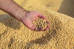 Il raccolto del fagiolo della soia della tenuta dell'agricoltore dopo il raccolto Immagini Stock Libere da Diritti