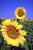 Il raccolto del fiore di Sun Immagine Stock Libera da Diritti