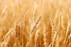 Il raccolto del frumento Fotografia Stock