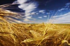 Il raccolto del frumento Fotografia Stock Libera da Diritti