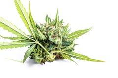 Il raccolto del germoglio è macro della marijuana Cannabis medica fotografia stock