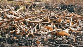 Il raccolto raccolto del girasole, rimane della bugia elaborata del girasole sulla terra dopo l'associazione agricola video d archivio