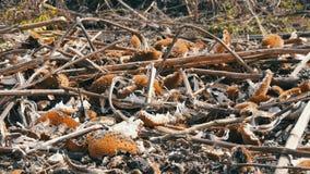 Il raccolto raccolto del girasole, rimane della bugia elaborata del girasole sulla terra dopo l'associazione agricola stock footage