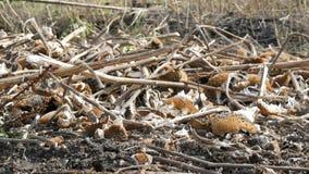 Il raccolto raccolto del girasole, rimane della bugia elaborata del girasole sulla terra dopo l'associazione agricola archivi video