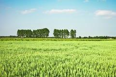 Il raccolto del grano Fotografia Stock