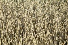 Il raccolto del grano Fotografie Stock Libere da Diritti