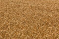 Il raccolto del grano Immagine Stock