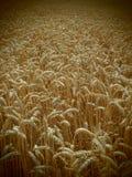 Il raccolto del grano Immagine Stock Libera da Diritti