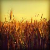 Il raccolto del grano Immagini Stock Libere da Diritti