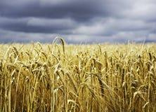 Il raccolto del grano del cereale pronto a raccogliere Fotografia Stock