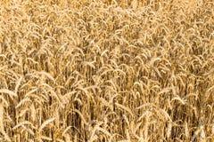 Il raccolto del grano del giacimento di grano sul campo Immagini Stock Libere da Diritti