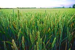 Il raccolto del grano di Colouful al crepuscolo Immagine Stock