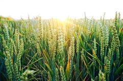 Il raccolto del grano di Colouful al tramonto Fotografia Stock