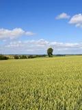 Il raccolto del grano di estate Immagine Stock Libera da Diritti