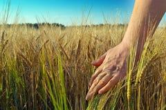 Il raccolto del grano e della mano Fotografia Stock