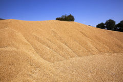 Il raccolto del grano, fine su Fotografia Stock Libera da Diritti