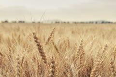 Il raccolto del grano nel paese Immagini Stock Libere da Diritti