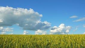 Il raccolto del grano ondeggia sul campo contro il cielo blu 4K video d archivio