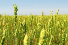Il raccolto del grano primaverile Fotografie Stock