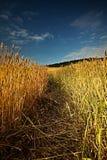 Il raccolto del grano si aspetta prima del raccolto Fotografia Stock