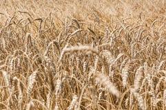 Il raccolto del grano (sp ) Fotografie Stock