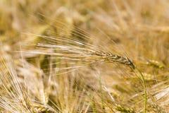 Il raccolto del grano in un campo Immagini Stock Libere da Diritti