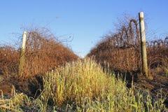 Il raccolto del lampone di inverno Fotografia Stock