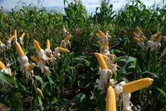 Il raccolto del mais Immagini Stock Libere da Diritti