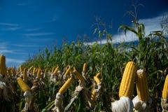 Il raccolto del mais Fotografia Stock Libera da Diritti