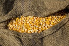 Il raccolto del mais, Gorpara, Manikgonj, Bangladesh Fotografia Stock Libera da Diritti