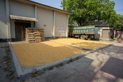 Il raccolto del mais sta morendo in fonte della fabbrica, Gorpara, Manikgonj, Bangladesh Fotografia Stock