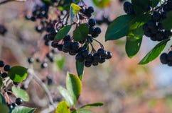 Il raccolto del ramo di chokeberry Fotografia Stock