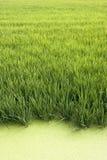 Il raccolto del riso Fotografia Stock