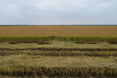Il raccolto del riso del campo ha cominciato Immagini Stock Libere da Diritti
