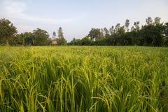 Il raccolto del riso nel giacimento del riso Immagini Stock