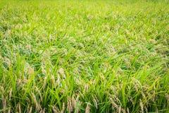 Il raccolto del riso pronto per il raccolto fotografia stock