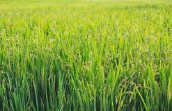 Il raccolto del riso pronto a raccogliere a Hampi, India Fotografie Stock