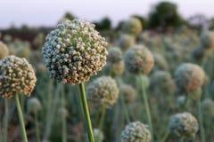 Il raccolto del seme della cipolla in un'azienda agricola fotografie stock