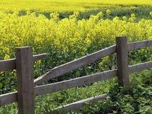 Il raccolto del seme di ravizzone Immagine Stock