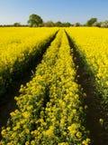 Il raccolto del seme oleifero Fotografia Stock