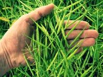 Il raccolto del seme oleifero della tenuta della mano dell'uomo nella parte anteriore Fagioli verdi freschi Immagine Stock Libera da Diritti